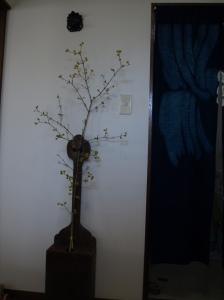 山茱萸を玄関に飾ってみた。