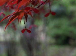 赤い紅葉の種